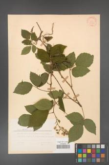 Rubus hirtus [KOR 31286]