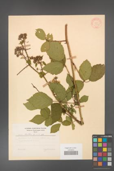Rubus hirtus [KOR 31313]