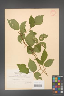 Rubus hirtus [KOR 31224]