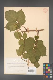 Rubus hirtus [KOR 31264]