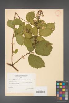 Rubus hirtus [KOR 31260]