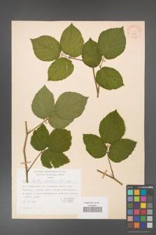 Rubus hirtus [KOR 31270]