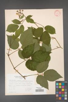 Rubus hirtus [KOR 31300]