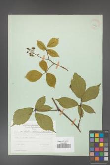Rubus hirtus [KOR 28037]