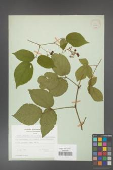 Rubus hirtus [KOR 31252]