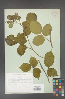 Rubus hirtus [KOR 31294]