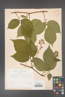 Rubus hirtus [KOR 31298a]