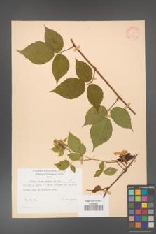 Rubus hirtus [KOR 31273]