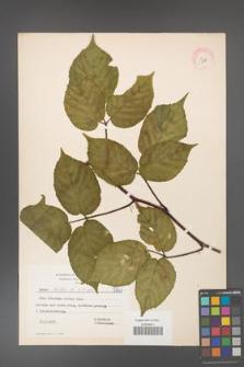 Rubus hirtus [KOR 5843]