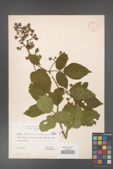 Rubus hirtus [KOR 5834]