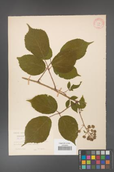 Rubus hirtus [KOR 219]