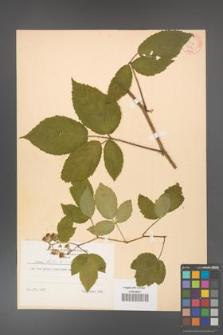 Rubus hirtus [KOR 8786]