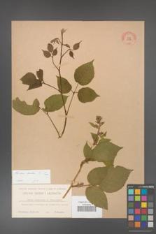 Rubus hirtus [KOR 10779]