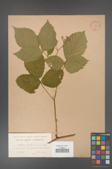 Rubus hirtus [KOR 74]