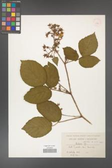 Rubus hirtus [KOR 10788]