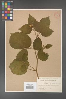 Rubus hirtus [KOR 10786]