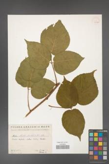Rubus hirtus [KOR 10787a]