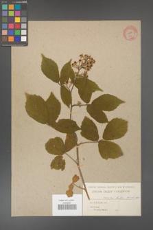 Rubus hirtus [KOR 454]