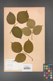 Rubus hirtus [KOR 10773]