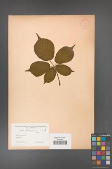 Rubus hirtus [KOR 10777]