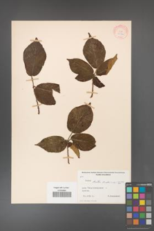Rubus hirtus [KOR 10776]