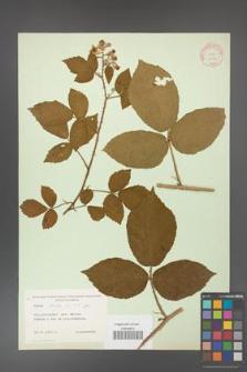 Rubus hirtus [KOR 10771]