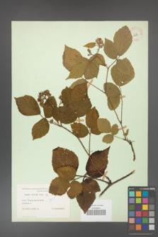 Rubus hirtus [KOR 10796]