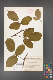 Rubus hirtus [KOR 46569]