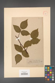 Rubus hirtus [KOR 10783]