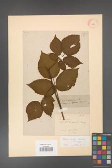 Rubus hirtus [KOR 10782]
