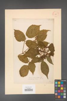 Rubus hirtus [KOR 10781]