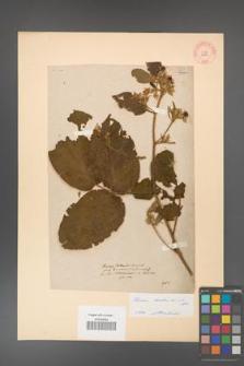 Rubus hirtus [KOR 10780]