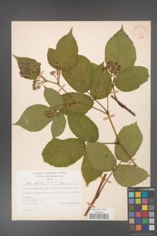 Rubus hirtus [KOR 31230]