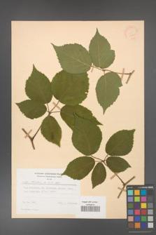 Rubus hirtus [KOR 31231]