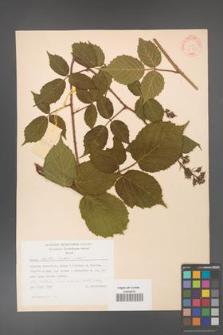 Rubus hirtus [KOR 31361]