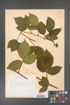 Rubus hirtus [KOR 31354]