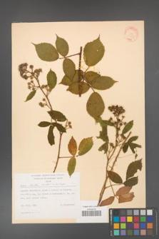 Rubus hirtus [KOR 31353]