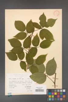Rubus hirtus [KOR 31337a]