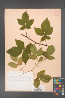 Rubus hirtus [KOR 31208]