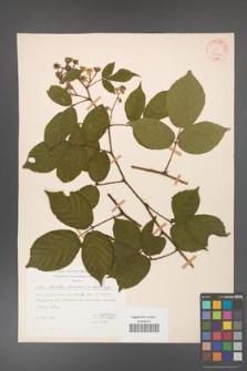 Rubus hirtus [KOR 31206]