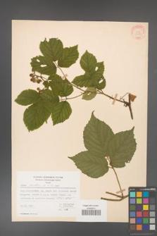 Rubus hirtus [KOR 31280]