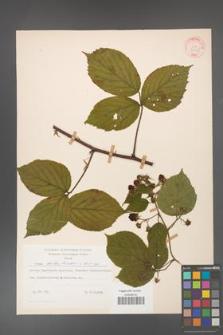 Rubus hirtus [KOR 31285]