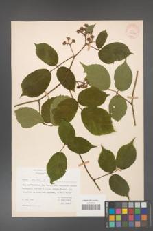 Rubus hirtus [KOR 31244]