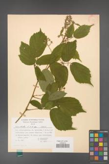 Rubus hirtus [KOR 31345]