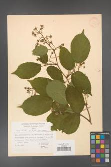 Rubus hirtus [KOR 31320]
