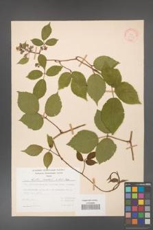 Rubus hirtus [KOR 31321]