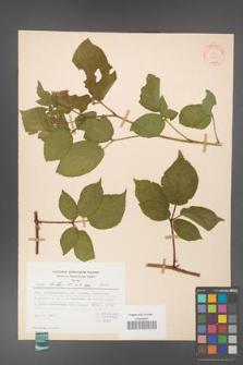 Rubus hirtus [KOR 31335]