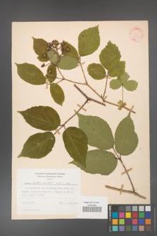 Rubus hirtus [KOR 31333]
