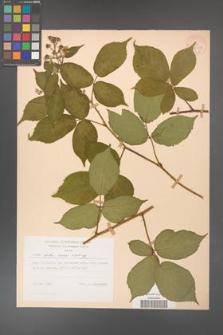 Rubus hirtus [KOR 28012]