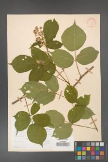 Rubus hirtus [KOR 31324]